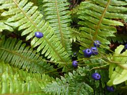 Turutu- NZ Blueberry