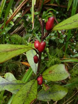 Horopito berries