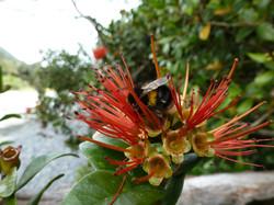 Bumble Bee on Rata