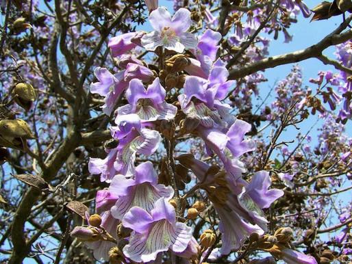 El árbol Kiri ¿Una posible alternativa o un gran problema?