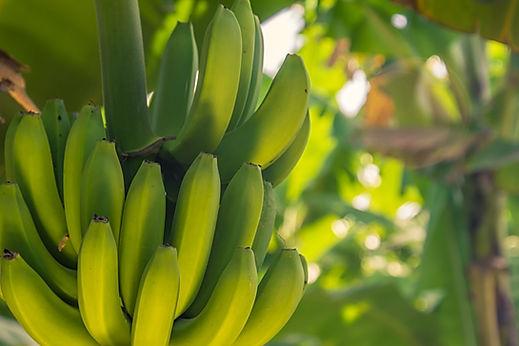 Pronatur_Bananenstaude.jpg