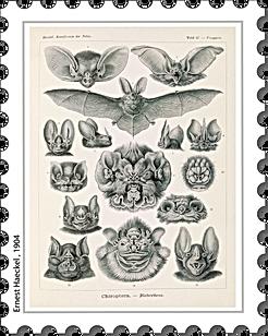 Ernest Haeckel 1904.png