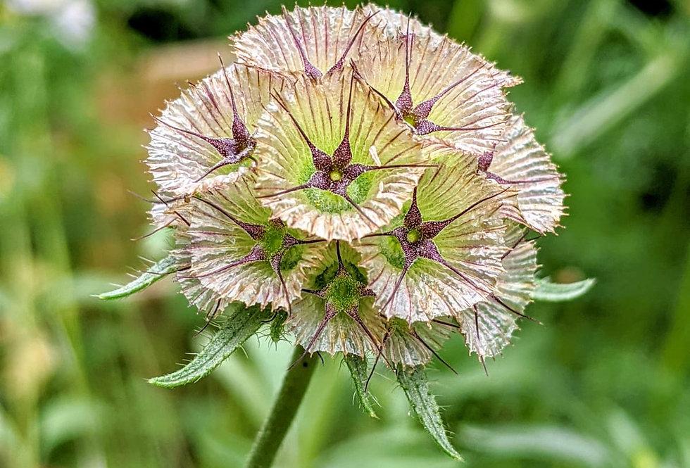 Scabiosa (Stellata) seeds