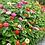 Thumbnail: Zinnia (Giants of California) seeds