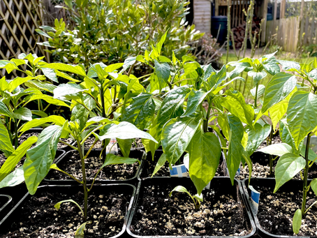 Sunshine and acclimatising chillies.