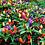 Thumbnail: Chilli (NuMex Twilight) seeds
