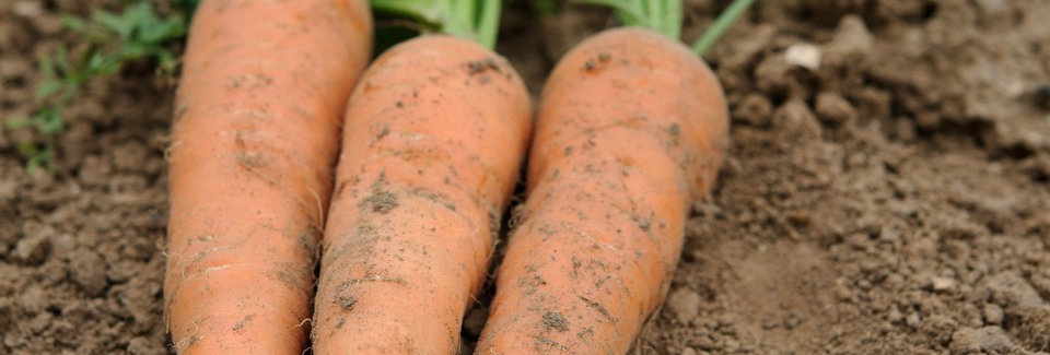 Carrot (Chantenay Red Cored) seeds