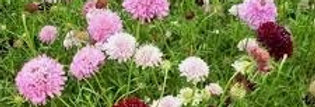 Scabious (Crown Tall Mix) seeds
