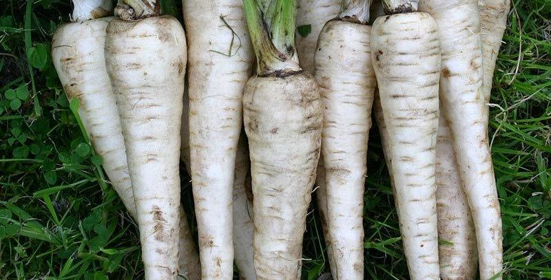 Parsnip (Tender and True) seeds