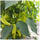 Thumbnail: Chilli (Hungarian Hot Wax) seeds