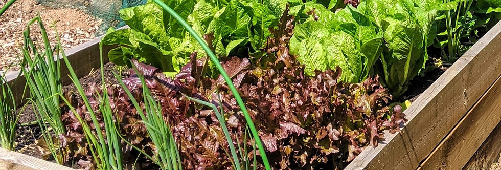 Salad Leaf (Mixed Salad Leaves) seeds