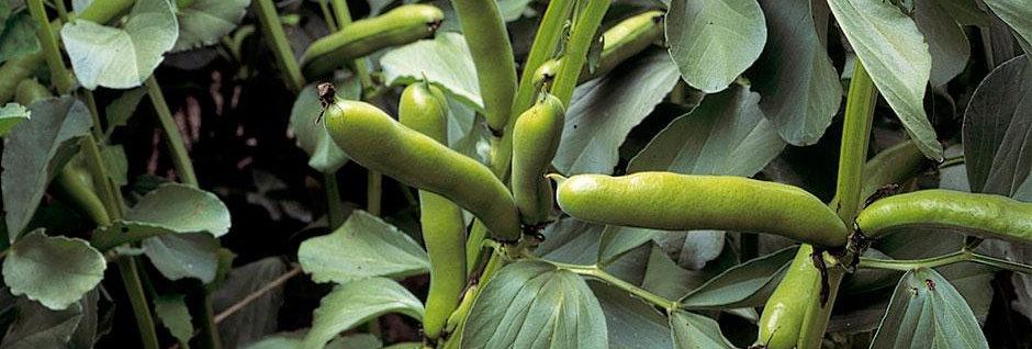Broad Bean (Aquadulce) seeds