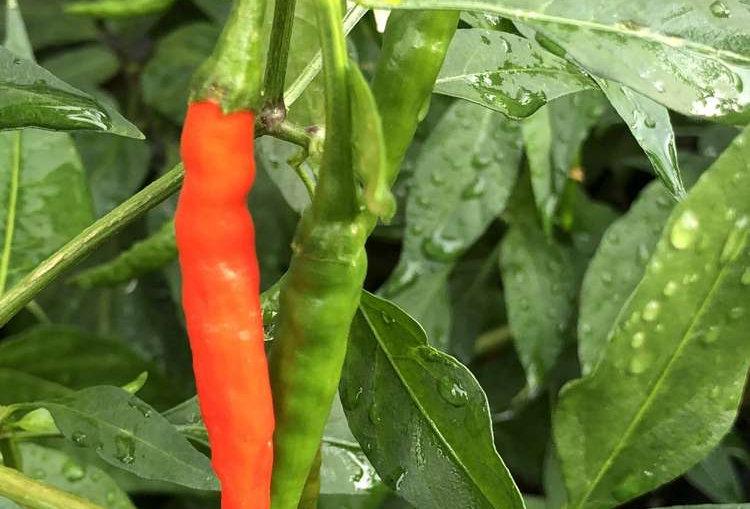 Chilli (Khorika Jolokia) seeds