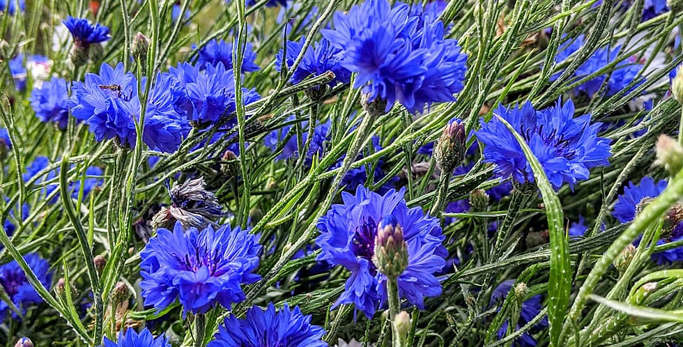 Cornflower (Blue Ball) seeds
