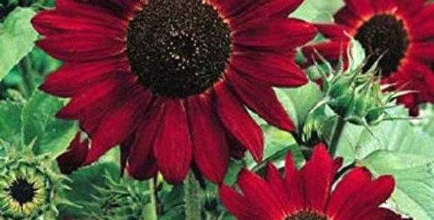Sunflower (Red Sun) seeds