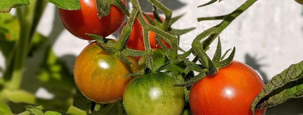 Tomato (Gardeners Delight) seeds