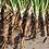 Thumbnail: Salsify (Sandwich Island) seeds