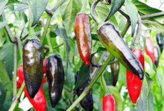 Chilli (Krishna Jolokia) seeds