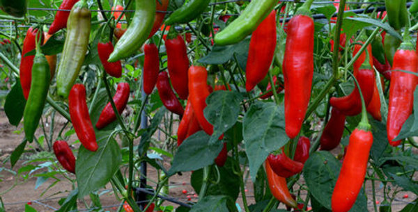 Chilli (Serrano Tampiqueno) seeds