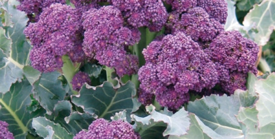 Broccoli (Early Purple Sprouting) seeds