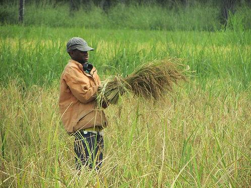 Formazione sulle tecniche di semina per la coltura di riso