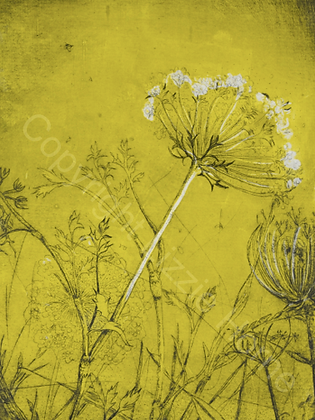 Summer field, Queen Anne's lace (i) SOLD