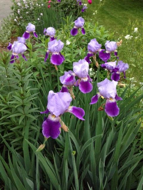 Old Fashioned Tall Bearded Iris
