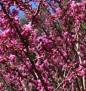 Red Bud tree seedling