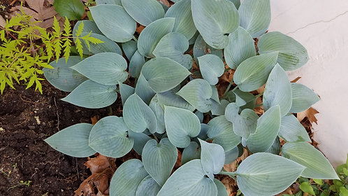 """Blue Hosta  unknown variety 9"""" pot"""