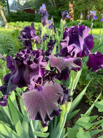 Maroon Tall Bearded Iris