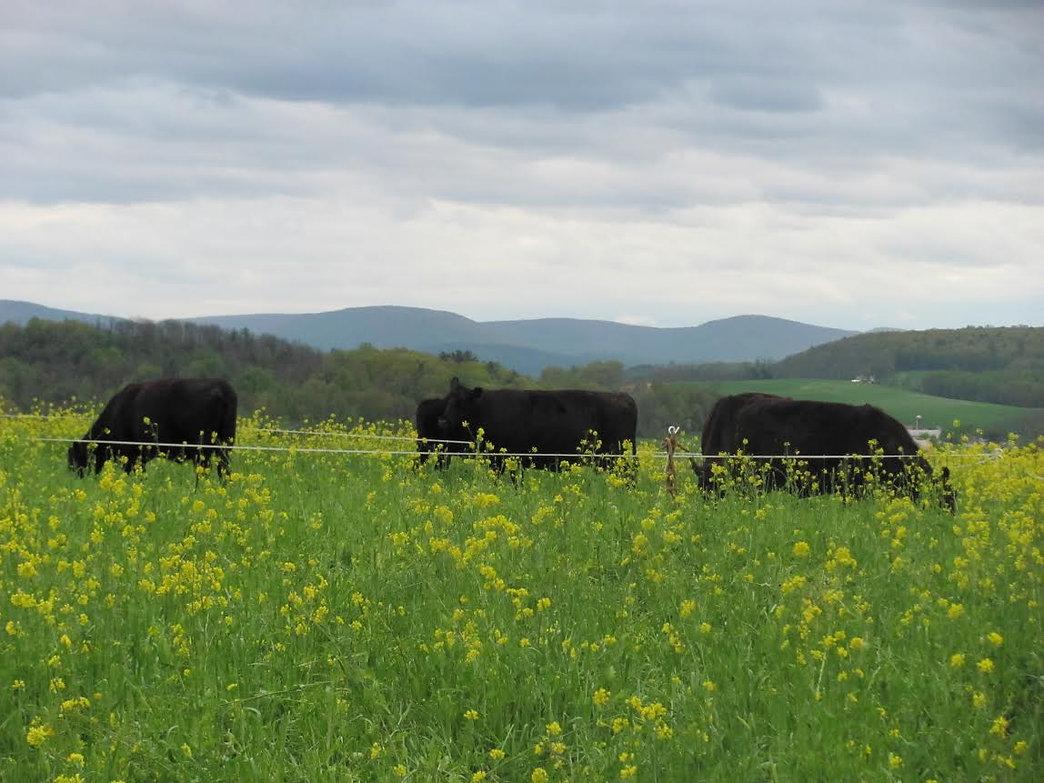 100% Grassfed Beef Grazing