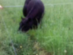 Grassed Beef