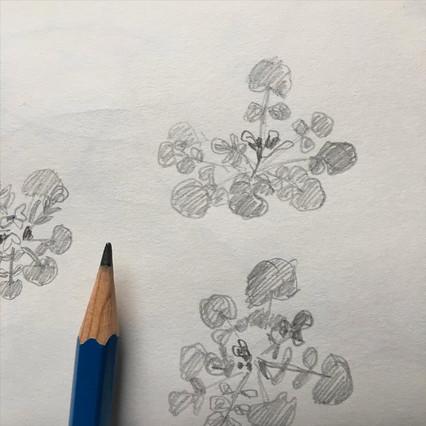 Pencil Sketchbook Drawing of bittercress by Jo Blaker