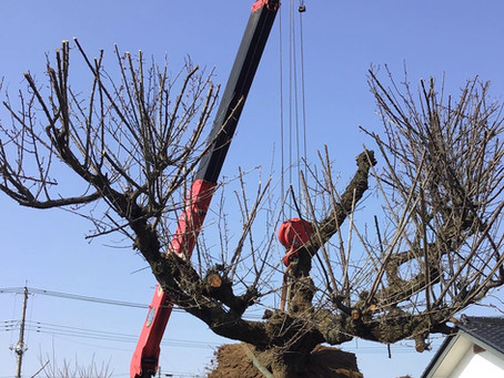 梅の木移植 伐採 剪定 栃木県