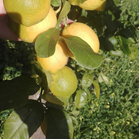 limoni primo fiore.jpeg