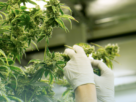 The Importance of Reliable THC Concentration and the Role of Analytical Data