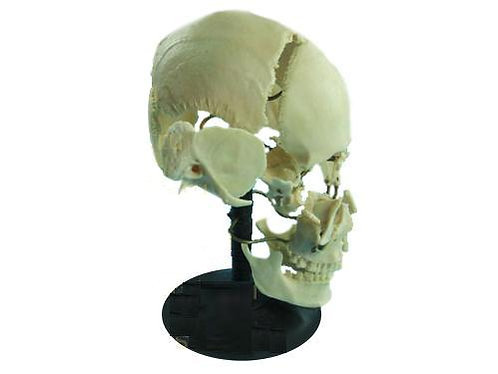 Модель Кости черепа на подставке