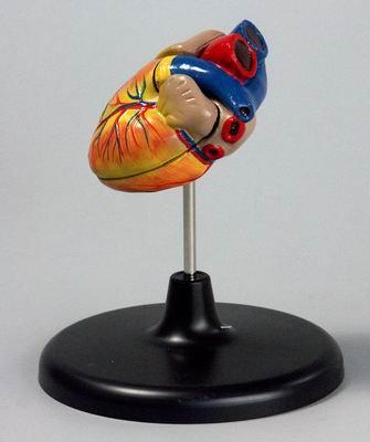 Модель Сердце малое (лабораторное)