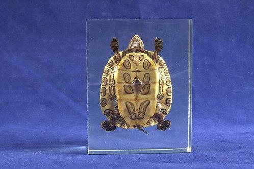 Коллекция Черепаха