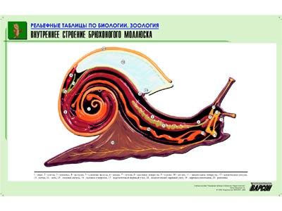 """Рельефная таблица """"Внутреннее строение брюхоногого моллюска"""" формат А1, матовое"""