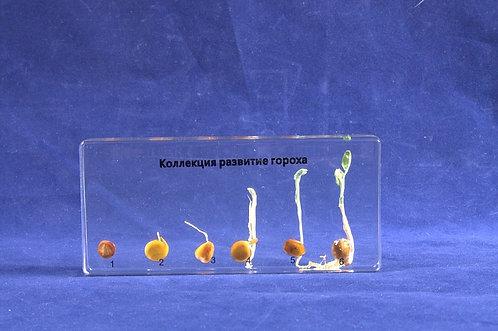 Коллекция Развитие зерна гороха