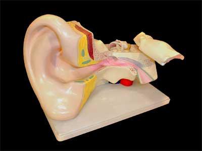 Модель уха
