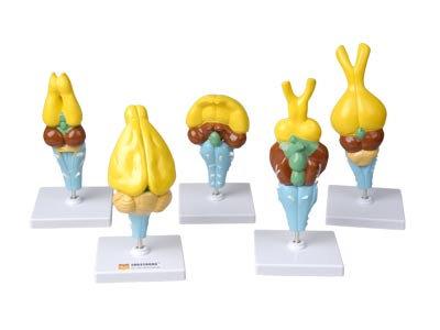 Комплект моделей строения мозга позвоночных