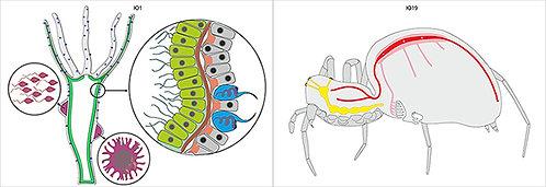 Модель-аппликация Эволюция систем органов беспозвоночных животных