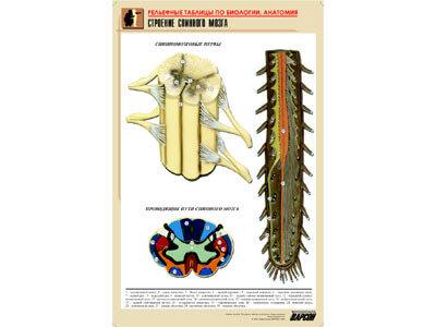 """Рельефная таблица """"Строение спинного мозга """" (формат А1, матовое ламинир.)"""