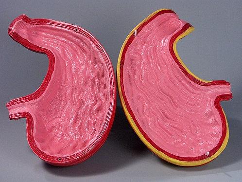 Модель Желудок в разрезе