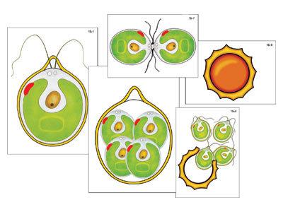 """Модель-аппликация """"Размножение одноклеточной водоросли"""" (ламинированная)"""