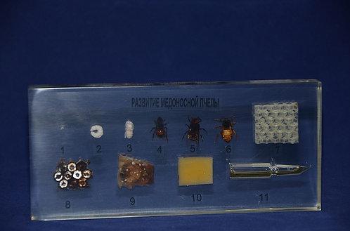 Коллекция Развитие медоносной пчелы