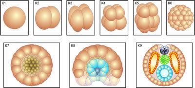 Модель-аппликация Размножение и развитие хордовых