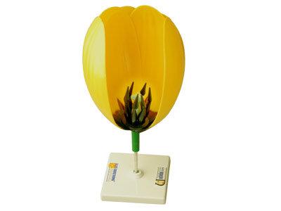 Модель цветка тюльпана
